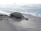 Female Leatherback Turtle